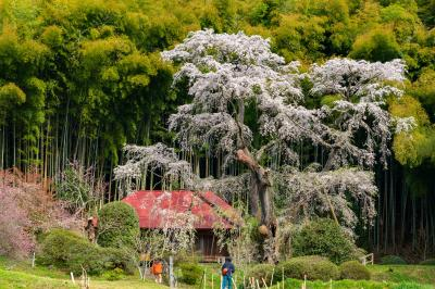 郡山/白河ぐるり旅【1】~竹林の緑と桜色のコントラスト~雪村桜