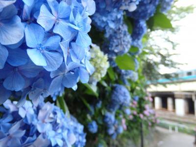 飛鳥の小径の紫陽花と旧古河庭園のバラ 久しぶりの花散歩♪