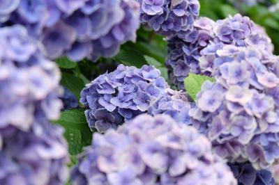 諦めていた紫陽花を花の寺で楽しむ♪ ~加古川 円照寺~