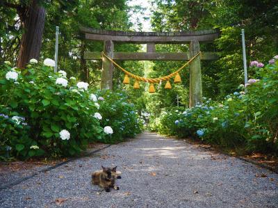 あじさい祭りは中止になってしまったけど、紫陽花が見ごろになった磯山神社へ