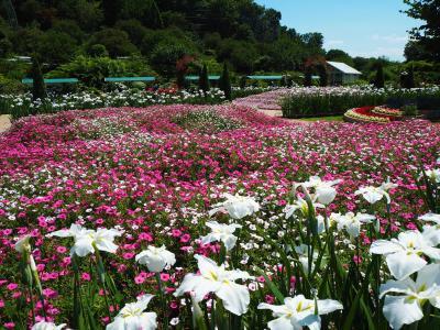 紫陽花と花菖蒲が見ごろのあしかがフラワーパークへ行ってきました