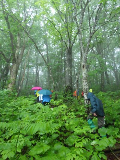 乳頭山麓のブナ林
