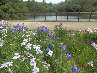 大池公園 過ぎただろうけど花ショウブ