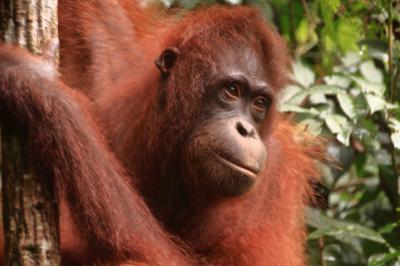 マレーシア活動制限令下でのボルネオ島・サンダカンへの旅 6.会えなかったオランウータンを求めて