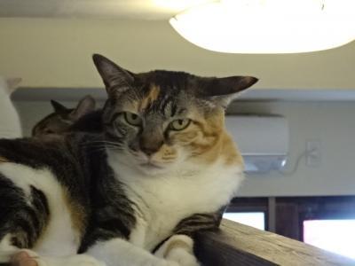 愛知県西尾市保護猫カフェ猫待ち