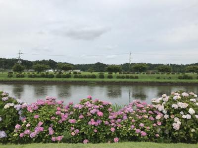 花を求めて 紫陽花(宗吾霊堂 成田山新勝寺  日本寺 あじさい公園)