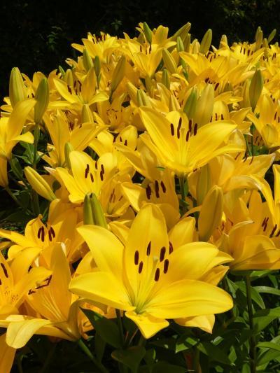 「あしかがフラワーパーク」の夏の花(2)_2020_アジサイとユリ(栃木県・足利市)