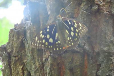 蝶の里公園に行きました①国蝶であるオオムラサキを見ました