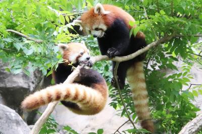 再開園した夏日の多摩動物公園に平日に車で再訪(前編)レッサーパンダ特集~夏日だったのに元気な姿と笑顔を見せてくれてありがとう!~