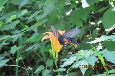蝶の里公園に行きました②オオムラサキとその他の蝶