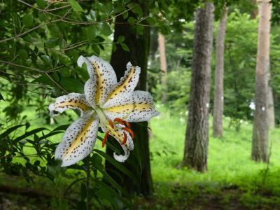 「八寸(はちす)権現山」のヤマユリ_2020_ほぼ半分咲いてますが、雨で傷んでます(群馬県・伊勢崎市)