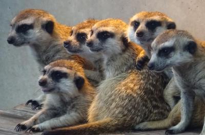 市川市動植物園 自然いっぱい、バラ園も、ミーアキャットも