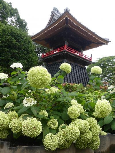 「能護寺」のアジサイ_2020_刈り取り作業中、シーズン終了です(埼玉県・熊谷市)