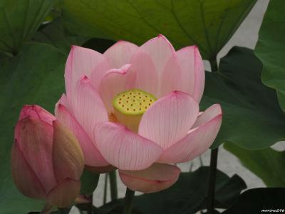 営業再開した大船フラワーセンターで蓮とバラの花を楽しみました