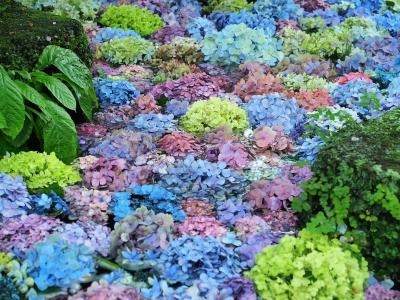 2020年 鎌倉紫陽花だより ~フィナーレを飾る長谷寺「紫陽花浮かぶ虹色の池」~