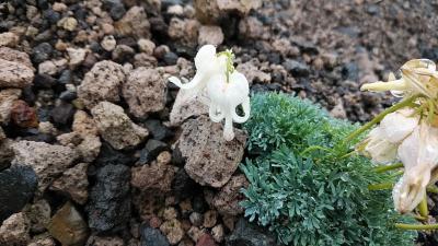 🌺花を求めて風不死岳と樽前山リベンジ