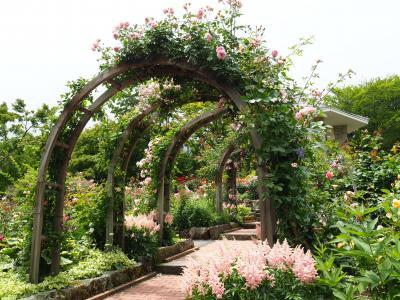 箱根強羅公園 小雨降る薔薇苑も又 味わい深し。薔薇のアーチが可愛いねえ! その②