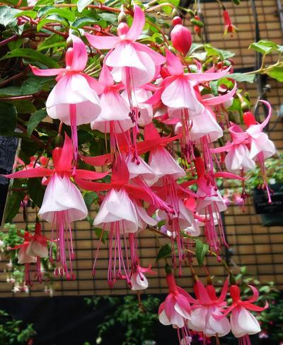 花の札幌 百合が原公園 6月下旬