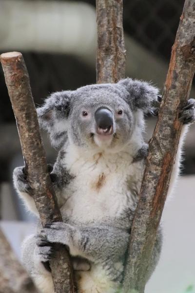 待ち焦がれた埼玉こども動物自然公園(2)大きくなったコアラの子たちとベネットアカクビワラビーの赤ちゃんにも会えた1日目の午前編