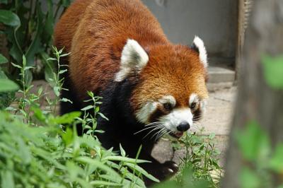旭山動物園 旭山に来てまだ5ヶ月・・・素晴らしい大仕事を成し遂げてくれたプーアル君!! おチビちゃんに会いに年内の再訪決定です!!