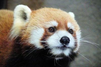 円山動物園  まさかこの日が最後になるなんて・・・まだまだ貴方の笑顔を見たかったです、ありがとう、大好きだよ、ギンちゃん