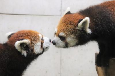 待ち焦がれた埼玉こども動物自然公園(3)レッサーパンダの双子リュウ・セイとブーズーやワオギツネザルの赤ちゃんに会えた1日目の午後編