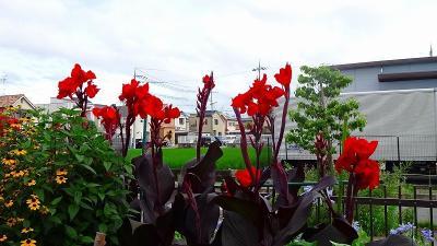 梅雨の合間に、昆陽南公園に咲く花を見に行きました その3。