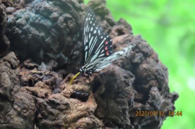 森のさんぽ道で見られた蝶(42)テングチョウ、キタテハ、アカボシゴマダラ他