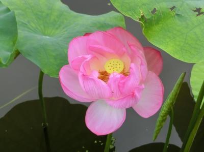 梅雨の切れ目に、大阪万博記念公園 自然文化園・平和のバラ園で「スイレン」を見て、日本庭園・はす池で「ハス」を見る。(2020)