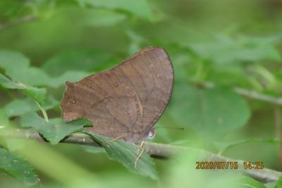 森のさんぽ道で見られた蝶(43)クロコノマチョウ、ウラナミシジミ、ツマグロヒョウモン、キタテハ他