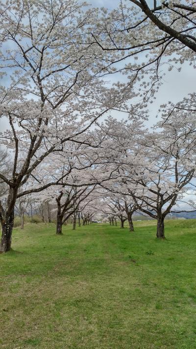 北東北から北関東縦断・桜とネモフィラと藤の花(秋田岩手編)
