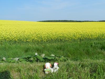 一面真っ黄色の世界!安平町の菜の花畑~帰路◆peachで行く小樽・札幌・安平町《その7・最終章》