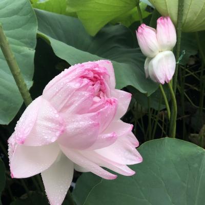 こんな蓮があったんだ!「近江妙蓮」数千枚の花びらを押し広げる稀種