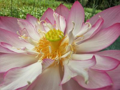400種のハスやスイレンが咲き誇る善祥寺
