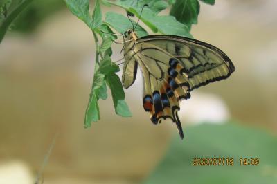森のさんぽ道で見られた蝶(44)アゲハチョウ、キアゲハ、キチョウ、イチモンジチョウ、ツバメシジミ他