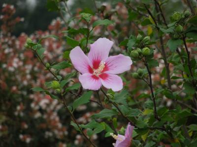 所沢市南永井付近の美しい風景・・ムクゲ、ミソハギの花