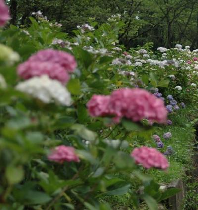 紫陽花園  IN   東京サマーランド