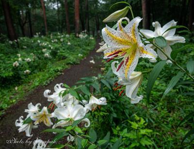 梅雨空の下、那須高原のヤマユリの香りに包まれる