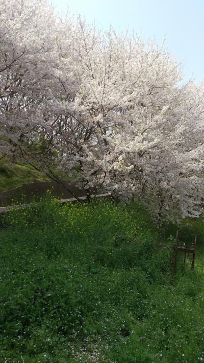 佐木島の桜