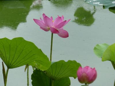 「波志江沼」のハス_2020_端に少しだけ咲き残っていました(群馬県・伊勢崎市)