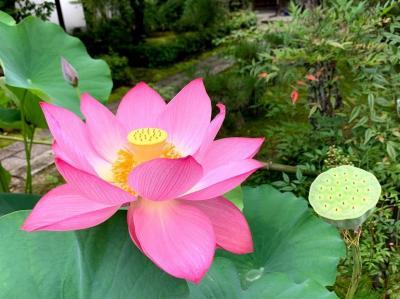 ほとんど行き当たりばったり京都旅行(2)(法金剛院、妙心寺、仁和寺、龍安寺と嵯峨野散歩)