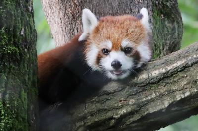 クォッカに会えた埼玉こども動物自然公園(北園)みやびちゃん、妹に負けてみゃあみゃあ、リンちゃんお手やらわかに~&2頭目のプーズーの赤ちゃん