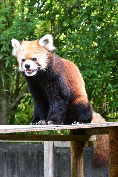 レッサーパンダはかわゆい !!! とくしま動物園