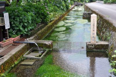 治左川(福井)の梅花藻