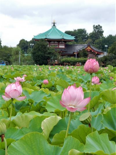 「 ハスの花咲く 上野不忍池 さんぽ 」2020