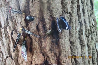 森のさんぽ道で見られた蝶(46)ルリタテハ、アカボシゴマダラ、クロコノマチョウ、モンキチョウ他、他