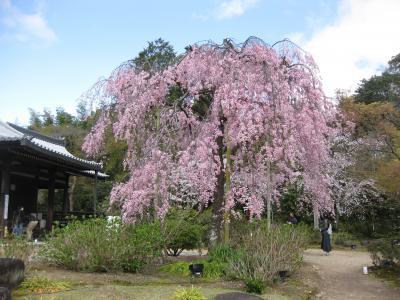 今年のお花見は古都・奈良と京都で楽しむぞ~京都編四日目