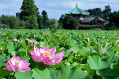 ぷらっと東京さんぽ《Scene.1》~上野恩賜公園・不忍池で清らかな蓮の花を愛でる~