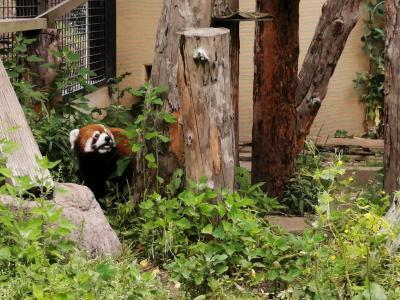 '20 夏の北海道旅行19 旭山動物園⑥(レッサーパンダ舎&小獣舎~シマフクロウ舎~北海道産動物舎)