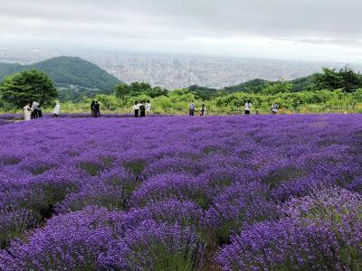 2020.7 ラベンダー・アジサイ、札幌市内で楽しめる夏の「お花の公園」巡り